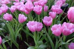 roze tulpenfowers Stock Foto's