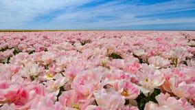 Roze tulpengebied met een blauwe hemel Stock Afbeeldingen