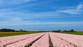 Roze tulpengebied met huizen op de horizon Stock Foto's