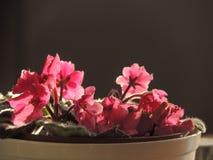 Roze uiterst kleine bloemen Stock Afbeeldingen