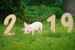 Roze varken die gras eten, die zich dichtbij houten cijfers van 2019 in tuin bevinden royalty-vrije stock afbeeldingen