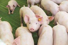 Roze varkens, Varkens op het landbouwbedrijf stock foto's