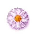 Roze vectordiebloem op witte achtergrond wordt geïsoleerd Element voor F stock illustratie