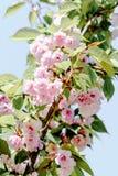 Roze verse de aardbloem van de sakuraboom Stock Afbeeldingen