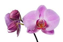 Roze verse orchidee Royalty-vrije Stock Afbeeldingen