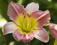 Roze Verstoorde Daylily stock afbeeldingen