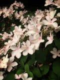 Roze viburnum Stock Fotografie