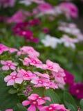 Roze Vinca Flowers Hanging stock foto's