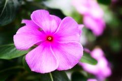 Roze Vinca Rose Suround doorbladert langs Stock Afbeelding