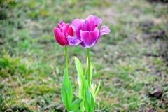 Roze Violet Tulips Tulipa Garden Planting velen Voorraadfoto royalty-vrije stock foto's