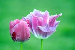 Roze Violet Tulips Tulipa Garden Planting velen Voorraadfoto stock afbeelding