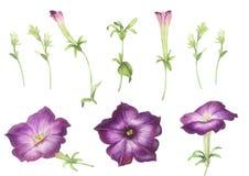 Roze violette die bloemen op witte achtergrond worden geïsoleerd stock foto