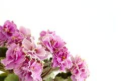 Roze viooltjes Royalty-vrije Stock Afbeeldingen
