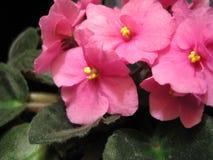 Roze viooltjes. Royalty-vrije Stock Foto