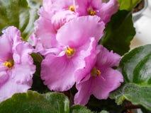 Roze viooltjes in een pot bloemen in potten op vensterbanken stock fotografie