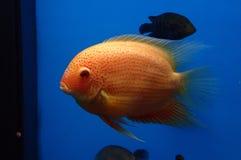 Roze vissen Stock Afbeeldingen