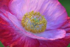 Roze Vlaanderen Poppy Closeup stock afbeeldingen