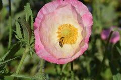 Roze Vlaanderen Poppy Flower met Bij 06 royalty-vrije stock afbeeldingen