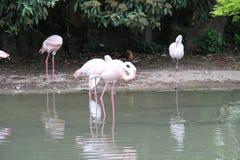 Roze Vlamingen onder bomen en bij de rand van een rek van water Royalty-vrije Stock Foto's