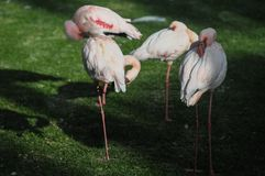 Roze Volwassen Flamingo Stock Foto