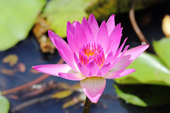 Roze water lilly Royalty-vrije Stock Afbeelding