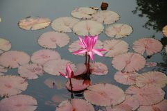Roze water lilly Stock Foto