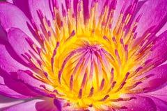 Roze waterlelie. Royalty-vrije Stock Afbeeldingen