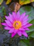 Roze Waterlelie. Stock Afbeelding