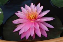Roze Waterlelie Stock Foto's