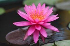 Roze Waterlelie Royalty-vrije Stock Fotografie
