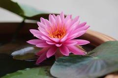 Roze Waterlelie Royalty-vrije Stock Foto's