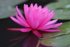 Roze Waterlelie Stock Afbeeldingen