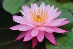 Roze Waterlelie Royalty-vrije Stock Afbeeldingen