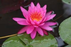 Roze Waterlelie Stock Afbeelding