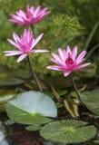 Roze Waterlelie, Roze Lotus, Nymphaea pubescens Stock Afbeeldingen