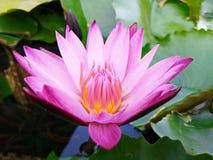 Roze waterlelie roze lotusbloem stock foto's