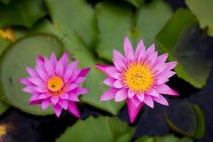 Roze Waterlelie of lotusbloem Royalty-vrije Stock Afbeelding