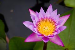 Roze Waterlelie of lotusbloem Stock Foto