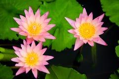 Roze waterleliebloemen Stock Afbeelding