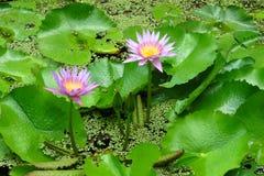 Roze waterlelies bij Moir-Tuinen, Kauai, Hawaï royalty-vrije stock fotografie