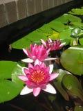 Roze waterlilies in een vijver met leliestootkussens royalty-vrije stock foto