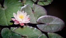 Roze waterlily alba Nymphaea Royalty-vrije Stock Afbeelding