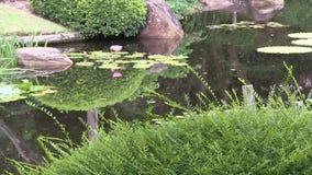 Roze waterlily in de vijver in de Japanse tuin bij de Botanische Tuinen van Brisbane, Australië stock video