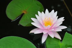 Roze waterlily of lotusbloembloem Stock Afbeeldingen