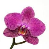 Roze weggeschoten orchideebloem op witte achtergrond stock afbeelding