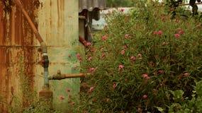 Roze Wilde Bloem Bush met Uitstekende Waterklep stock foto's