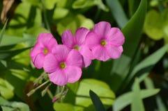 Roze wilde bloemen Stock Fotografie