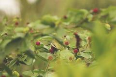 Roze Wilde Bloemen Wilde Aardbeien stock afbeelding