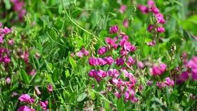 Roze wilde bloemen in weide in Rusland stock footage
