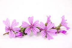 Roze wilde geïsoleerdee malve Stock Foto's